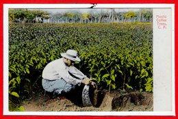 AMERIQUE - COSTA RICA --  Mastic Coffee Trees - Costa Rica