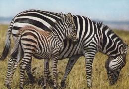 East Africa PPC Zebra Mother & Baby KENYA 197? KASSEL Germany Tourmaline & Galena  Mineralien Minerals Stamps (2 Scans) - Zebra's