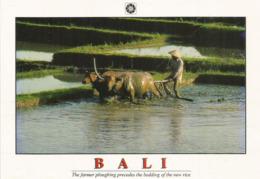 BALI: Farmer Ploughing Precedes The Bedding Of The New Rice In Bali,  Carte Postale Neuve Non Circulée - Indonesia