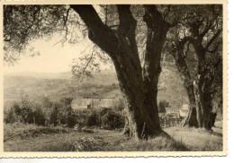 CP - PHOTO - SAINT PAUL DE VENCE - ETUDE D'OLIVIERS - 1588 - ECLECTA - Saint-Paul
