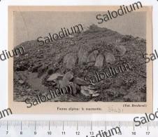 Alpi Fauna Marmotte Marmotta Marmot  - Immagine Ritagliata Da Pubblicazione Originale D´epoca - Immagine Tagliata