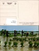 351836,Thailand Nakorn-Chaisri Uproot Rice Seedings Reisfeld Volkstypen - Thaïland