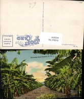 442059,Jamaica Jamika Banana Field Bananenfeld Bananen Bäume - Ansichtskarten