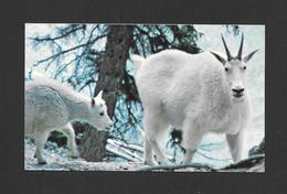 ANIMAUX - ANIMALS - ROCKY MOUNTAIN GOAT - CANADIAN ROCKIES - CHÈVRE DE MONTAGNE - PHOTO BY E. HOLZ - Animaux & Faune