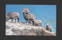 ANIMAUX - ANIMALS - ROCKY MOUNTAIN BIGHORN SHEEP - MOUFLON D'AMÉRIQUE - PHOTOGRAPH BY JIMMIE SHAW - Animaux & Faune