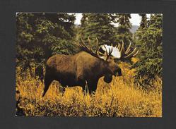 ANIMAUX - ANIMALS - ORIGNAL - BULL MOOSE - NORTH AMERICAN WILDLIFE - PHOTO E. FLIPSE - Animaux & Faune