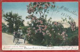 Bermuda - HAMILTON - Oelander In Bloom - Bermudes