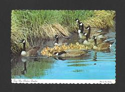 ANIMAUX - ANIMALS - OIES -  FOUR FAMILIES OF CANADIAN GEESE WITH THEIR YOUNG - ALASKAN WILDLIFE - PHOTO VERA STREBLING - Oiseaux