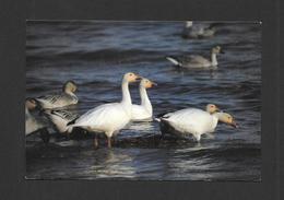 ANIMAUX - ANIMALS - OISEAUX - GEESES - OIES BLANCHES SUR LES BATTURES DU ST LAURENT - PHOTO ALAIN PATRY - Oiseaux