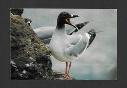 ANIMAUX - ANIMALS - OISEAUX - GALAPAGOS - SWALLOW TAILED GULL - FOTO PROHIBIDA - Oiseaux
