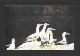 ANIMAUX - ANIMALS - OISEAUX - LES FOUS DE BASSAN - YOUNG GANNETS - PAR CLUB DES ORNITHOLOGUES DE LA GASPÉSIE - Oiseaux