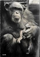 Zoologischer Garten Zürich  - Schimpansin Lulu Mit Ihrer Am 30 Mai 1961 Geborenen Nioka - Monkeys