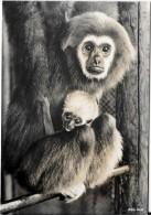 Zoologischer Garten Zürich  - Gibbon Mit Jungem - Singes