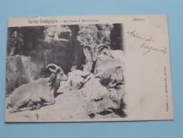Jardin Zoologique MOUFLONS à MANCHETTES ( G. Hermans ) Anno 190? ( Zie Foto Voor Details ) !! - Antwerpen