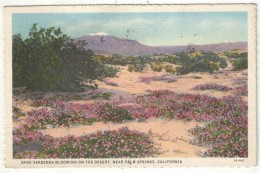 Sand Verbenas Blooming On The Desert, Near Palm Springs, California - 1932 - Palm Springs