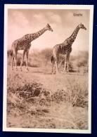 Cartolina Postale - Giraffe - Giraffe