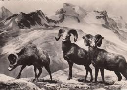 """MOUFLON DU CANADA Ou BIG-HORN Avec Au Dos De La Carte Pub """" Génoline """" - Animales"""