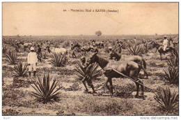 """(  Soudan  )       à  KAYES     """"   Plantation  Sizal - Soudan"""
