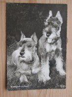 AK1023 - Zwergschnauzer - Popp 2421 - Ungelaufen - Topp Erhalten - Hunde