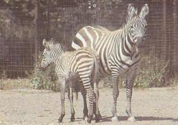 ANIMAUX Divers       H5        Chester.Grant's Zebras From East Africa - Zèbres