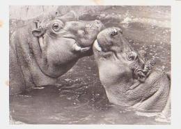 ANIMAUX Divers       H16        Humour ( Hippopotame ) ( Gros Bisou ) - Hippopotames