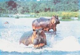 ANIMAUX Divers       H18        Bois De Vincennes.Hippopotames - Hippopotames