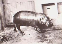 ANIMAUX Divers       H19        Hippopotame Nain Du Liberia ( Pub Tranfusine ) - Hippopotames