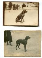 3 Photographies Pointer Noir Luciole De Belval Circa 1900 - Old (before 1900)