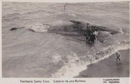 TERRITORIO SANTA CRUZ - ARGENTINA / PATAGONIA: BALLENA / WHALE / BALEINE - CARTE VRAIE PHOTO / REAL PHOTO ~ 1930 (u-626) - Tierwelt & Fauna