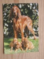 AK1030 - Irish Setter Mit Welpen - Hund - Col. - Foto Hinz - Ungelaufen - Topp Erhalten - Hunde