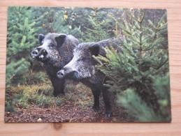 AK1036 - Wildschweine - Sus Scrofa L.- Sangliers - Wild Boars - Everzwijnen - Col. - Ungelaufen - Topp Erhalten - Tierwelt & Fauna
