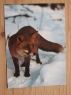 AK1042 - Fuchs Im Schnee - Foto Reinhard -   Ungelaufen - Topp Erhalten - Tierwelt & Fauna