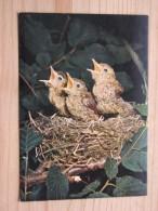 AK1066 - Junge Singdrosseln - Jeunes Grives Chanteuse - Young Song-thrushes - Ungelaufen - Topp Erhalten - Vögel