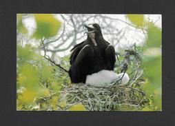 ANIMAUX - ANIMALS - OISEAUX - BIRDS - GALAPAGOS ECUADOR - AVE FRAGATA - FRIGATE BIRD - FREGATTVOGEL - PHOTO MARGGRAFF - Oiseaux