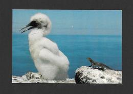 ANIMAUX - ANIMALS - OISEAUX - BIRDS - GALAPAGOS ECUADOR - PIQUERO ENMASCARADO - YOUNG MASKED BOOBY - JUNGER MASKENTOLPEL - Oiseaux