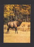 ANIMAUX - ANIMALS - ANIMAUX D'AMÉRIQUE DU NORD - WAPITI - PHOTO DENNIS W. SCHMIDT - Animaux & Faune