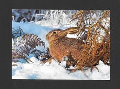 ANIMAUX - ANIMALS - LEPUS EUROPAEUS L. - FELDHASE - LIÈVRE - HARE - PHOTO FARBIG MIT - Animaux & Faune