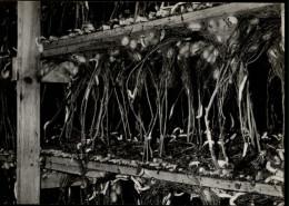 07 - VALLON-PONT-D'ARC - LES MAZES - élevage Vers à Soie - Vallon Pont D'Arc