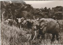Congo - Elephants Sauvages - Autres