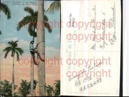 468022,Cuba Climbing The Royal Palm Palmen Kletterer - Ansichtskarten