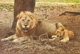 LION        H1        Afrique.Lion & Cub - Lions