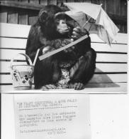 Animaux Zoologie 1953 Singe Chimpanzé Installé Sur Un Banc En Bord De Mer Une Ombrelle à La Main 1 Photo - Places