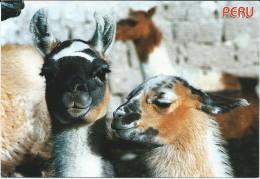 Peru.Llamas. - Peru