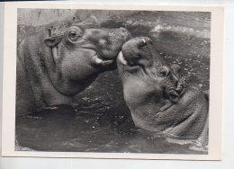 REF 259  : CPM Hippomotame  Erik Parbst Gros Bisou - Hippopotames