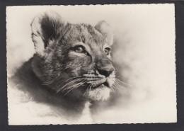 ZÜRICH:ZOOLOGISCHER GARTEN,JUNGER LÖWE(UM 1939) - Löwen