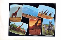 Carte Girafe Zebre - Girafes