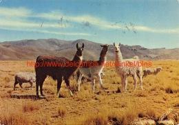 1972 Llamas En La Sierra Peru - Pérou