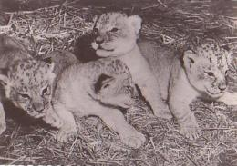 LION       H8       Lionceaux ( Pub Genoline ) - Lions