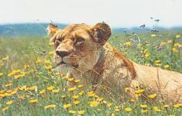 LION       1       Lionne Au Repos - Lions
