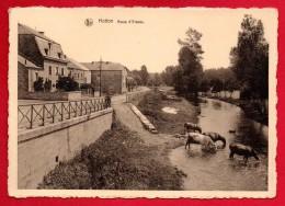Hotton. Rue D'Erezée. Vaches S'abreuvant Dans L'Ourthe. - Hotton